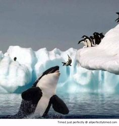Oops – When taking a dive gets dicey, not the best place to jump. These penguins better find another spot to dive.