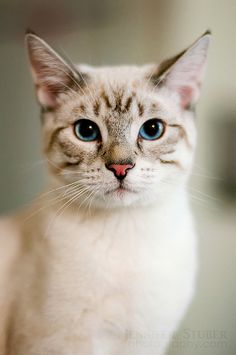 Siamese Cat Gallery - Cat's Nine Lives Pretty Cats, Beautiful Cats, Animals Beautiful, Cute Animals, Pretty Kitty, Small Animals, Funny Animals, Cute Kittens, Cool Cats