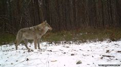 A lone grey wolf takes a moment to survey its surroundings, an image captured by a remote camera in Chernobyl's exclusion zone. (Image courtesy of the Tree research project)