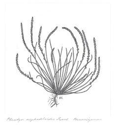 Dagny Tande Lid Botaniske illustrasjoner Plantago asphodeloides