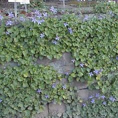 Soften the hard edges of a masonry retaining wall with trailing blooms, such as campanula. The perennial thrives with little upkeep and offers big bunches of violet flowers. | Photo: Kurt Stuber/Gnu | thisoldhouse.com