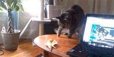 Este gato que olvidó que los bananos eran su archienemigo:   29 gatos cuyo fracaso fue tan grande que ganaron