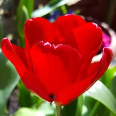 Sunshine has brought the red tulips out!
