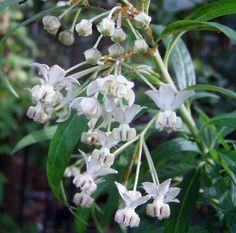 Asclepias Physocarpa Family Jewels 10 Seeds   eBay