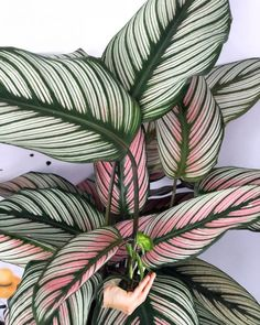 Buy Flowers Online Same Day Delivery Calathea White Star Foliage Plants, Potted Plants, Indoor Plants, Plant Pots, Indoor Gardening, Organic Gardening, Calathea, Green Plants, Tropical Plants