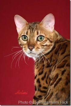 Bengal-cat-Induna