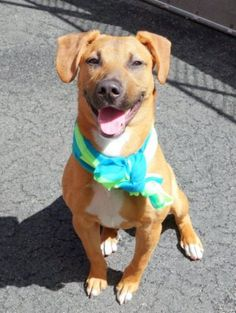 TO BE DESTROYED – 04/15/15 - CHESTER - A1032610 - MANHATTAN, NY - ***New Hope Only*** A volunteer writes: Adorable..There is no other word for Chester, a little boy, seven month old, left with us as his family moved out of the country. He lived and played with a Chihuahua.He would love kids and play rambunctiously with them. His former owners describe him as a very happy and affectionate babe. Chester has been very well cared for. He is beautifully made(by his Mama and