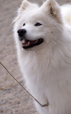 Samoyed Beautiful Dog Breeds, Beautiful Dogs, Animals Beautiful, Happy Animals, Animals And Pets, Cute Animals, Samoyed Dogs, Siberian Samoyed, Cute Puppies