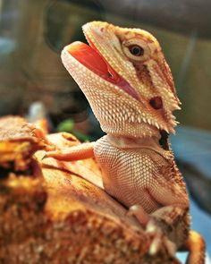 Zephyr the Bearded Dragon