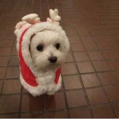 reindeer Westie puppy; just realized this is a Coconut outfit from American Girls  LOL!!!