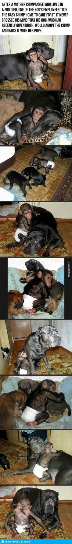 Dog raises baby Chimp