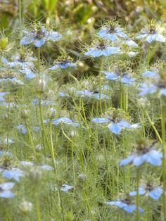 Love in a mist......