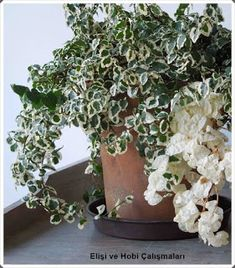 Enchanting indoor plant ficus pumila creeping fig with vigorous growing and clinging also dense branches adhere to any surface and be careful not to overwater Beautiful Plants That Grow Well Indoors Without Sunlight dracaena. Ficus Pumila, Indoor Plants Low Light, Best Indoor Plants, Low Light Houseplants, Mini Plants, Inside Plants, Cool Plants, Growing Plants Indoors, Decoration Plante