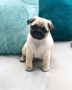 "How adorable is @apugnamedtug?! TAG a #puglover ... ""happy 9 week birthday tuggie!! ❤️"" ...⠀ #pug #pugpower #dogs #pugsnotdrugs #pugpuppy #puglove #cuteness #pugs #pugnation #dogstagram #dogsofinstagram #puppyeyes #pugstagram #pugworld #pugplanet #dogsofinstaworld #petstagram #instadog #instapug #babypug #pugsofig #pugsforever #pugoftheday #dogsofig"