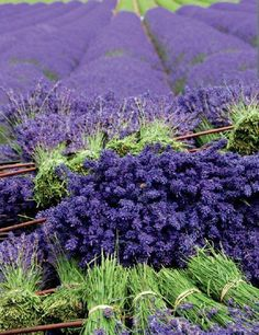 harvesting the Lavender #lavender