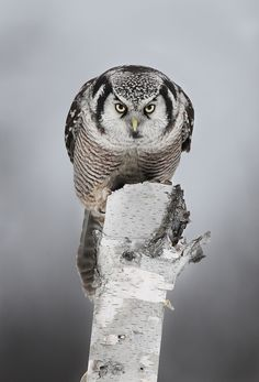 Northern Hawk Owl - Photo by Jim Cummings