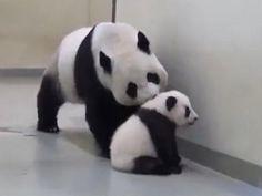 Rebelde: este osito panda no quiere dormir, pero...