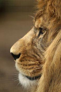 Der Löwe, der nie vergaß