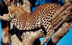 Leopard taking a break