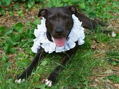 TAYLOR - A1113305 - - Manhattan  Manhattan Center My name is TAYLOR. My Animal ID # is A1113305. I am a spayed female black and white pit bull mix. The shelter thinks I am about 6 YEARS old. I came in the shelter as a STRAY on 05/26/2017 from NY 10473, owner surrender reason stated was STRAY. 06/07/2017 AT RISK MEMO Taylor...-  Click for info & Current Status: http://nycdogs.urgentpodr.org/taylor-a1113305/