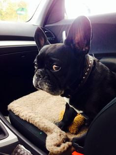 """""""Car rides make me nervous"""", Lucy, the French Bulldog"""