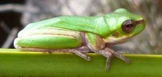 A magical green Australian frog.