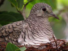 Fogo-apagou (Columbina squammata)   Flickr - Photo Sharing!