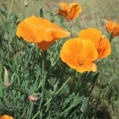 "500 Seeds, California Poppy ""Orange"" (Eschscholzia californica) Seeds By Seed Needs by Seed Needs: Flowers. $1.85. This poppy is grown as a perennial in warmer regions & an annual in cooler regions. Prefers an area of full sun to partial shade & average moisture daily. Quality Poppy seeds packaged by Seed Needs. Orange California Poppy grows to a height of 12 to 15 inches tall.. All ""Seed Needs"" packets include a colorful picture and growing information.. The bright or..."