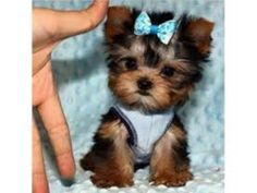 Pin On Teacup Yorkie Puppy