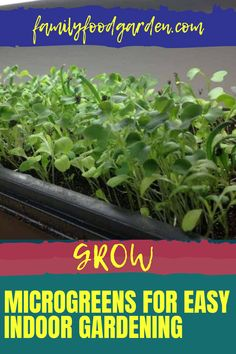 If you thought growing microgreen indoors will be difficult, Family Food & Garden says, on the contrary. This is one of the easiest things to grow and we will show you how to do it. Learn about all the options that are available. Microgreens are nutritious and fast-growing. Find out where you can buy seeds and what you need to successfully grow this popular superfood, which is great to have during the cold winter months. Download here… #microgreens #growmicrogreens… Healthy Fruits And Vegetables, Growing Microgreens, Buy Seeds, Fast Growing, Winter Months, Garden Planning, Superfood, Family Meals, Gardening Tips