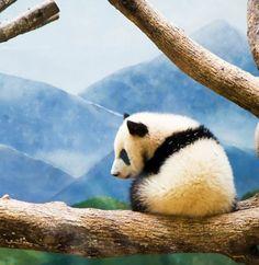 Beautiful Panda with a great view. Panda Love, Red Panda, Cute Panda, Panda Panda, Photo Panda, Animal Pictures, Cute Pictures, Baby Animals, Cute Animals