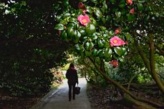 A stroll through blooming Camellias at The Lost Gardens of Heligan in Cornwall, England