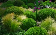 Box clipped in balls with flowering alium and waving grasses