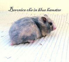 Beronice chs in blue hamster Blue