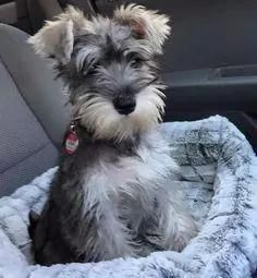 Ranked as one of the most popular dog breeds in the world, the Miniature Schnauzer is a cute little square faced furry coat. It is among the top twenty favorite Cute Dogs And Puppies, I Love Dogs, Pet Dogs, Dog Cat, Miniature Schnauzer Puppies, Schnauzer Puppy, Schnauzers, Miniature Dogs, Black Schnauzer