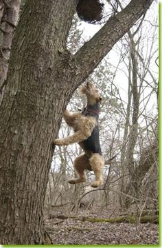 Hunting and working Airedales, photo by Dog Ads....must be related to Ginger!