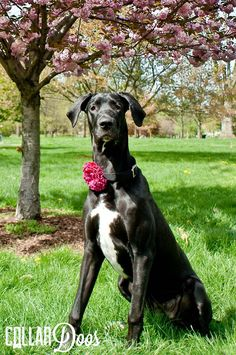 """Dog Collar Flower Trinity is a gorgeous black and white Great Dane puppy!  This adorable dog loves modeling her pink & red paisley """"Mrs. Doo"""" fabric flower collar accessory. http://www.collardoos.com"""