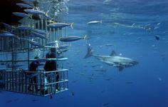 Le grand requin blanc restera-t-il une espèce protégée? - Nature & environnement