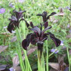 Iris chrysographes Black Knight - Des fleurs noir intense de juin à septembre