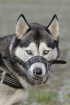 http://us.123rf.com/400wm/400/400/anagram1/anagram11301/anagram1130100016/17119815-portrait-of-a-siberian-husky-wearing-a-muzzle.jpg