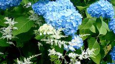 hydrangea and astilbe https://www.facebook.com/joenes.garden