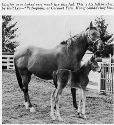 British mare Hydroplane and her foal, Unbelievable, a full brother to 1948 Triple Crown winner Citation Horse Galloping, Thoroughbred Horse, Horse Racing, Race Horses, Calumet Farm, Preakness Stakes, Horse Names, Sport Of Kings, Show Horses