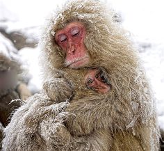 Two macaque monkeys warm each other on a snowy day.