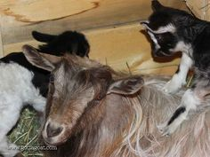 Halley's girls using her for entertainment - she looks impressed Fainting Goat, Goats, Miniature, Entertainment, Animals, Animales, Animaux, Miniatures, Goat