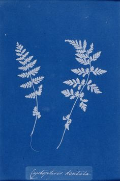 Anna Atkins_Cyanotype of Ferns