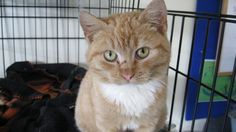 This beautiful ginger comes with scars as he had been living on a farm supposedly wild, but to our delight he is a very friendly and cuddly older kitten who is now off to adoption.
