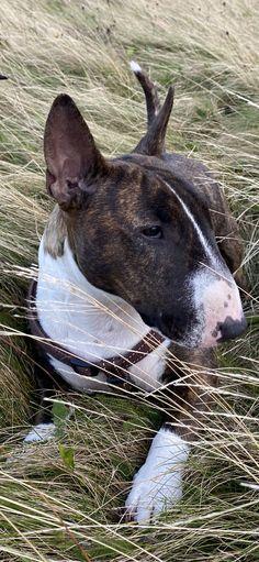Bull Terriers, Bullies, Puppy Love, Doggies, Pitbulls, Adventure, Friends, Mini, Animals