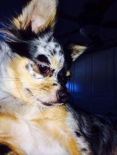 Why so thoughtful? Maya Azul blue Merle longhair chihuahua.