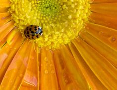 In Sheep's Clothing by Bud Whillock on Capture Wisconsin // This little Japanese beetle looks pretty cute on this rain-soaked Gerber daisy, but can be a royal pain in Wisconsin come October.