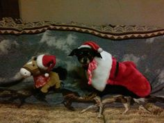 Lisa Wagner's pet picture! Lisa Wagner, Costume Contest, Christmas Costumes, Animal Pictures, Elf, Holiday Decor, Christmas Fancy Dress, Images Of Animals, Animal Photography